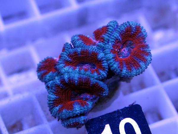 Acanthastrea spec. Frag (10)