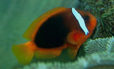 Amphiprion frenatus - Weißbinden-Anemonenfisch