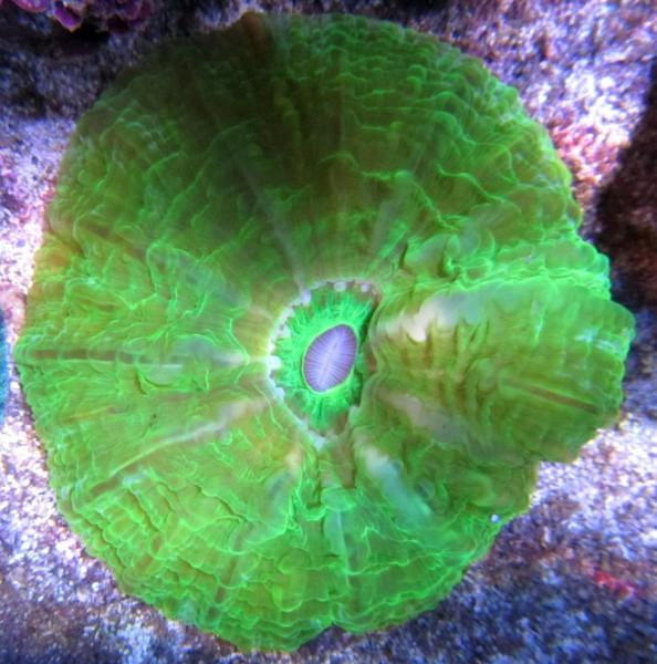 Scolymia vitensis - Becherkoralle, grün (E 01446/18)