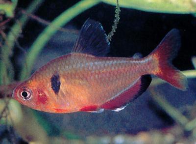 Hyphessobrycon eques - Blutsalmler