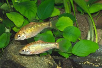 Puntius semifasciolatus - Messingbarbe