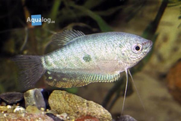 Trichogaster trichopterus - Perlmutt Fadenfisch