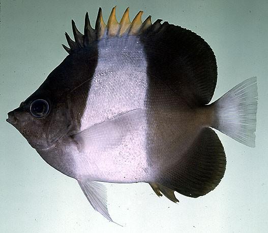 Hemitaurichthys zoster - schwarzer Pyramidenfalterfisch