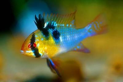 Mikrogeophagus ramirezi - Schmetterlingsbuntbarsch, blau NZ