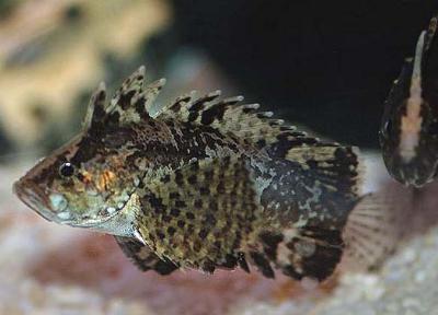 Neovespicula depressifrons - Brackwasserfisch!