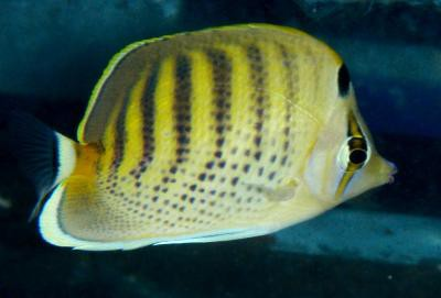 Chaetodon punctatofasciatus - Punktstreifen-Falterfisch