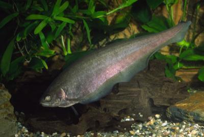 Xenomystus nigri - Afrikanischer Messerfisch, 6-8cm