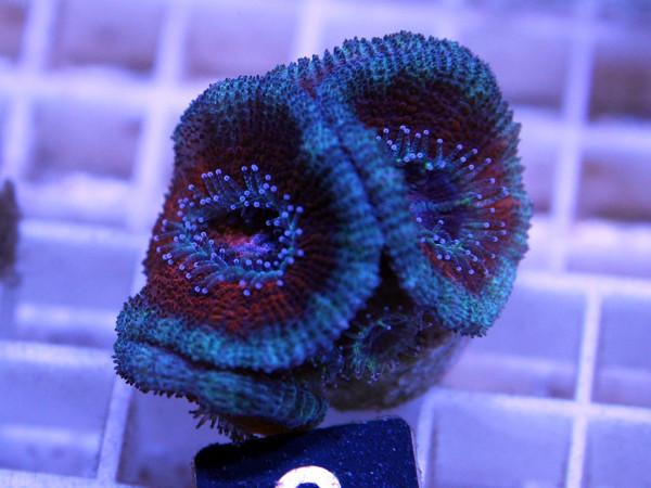Acanthastrea spec. Frag (2)