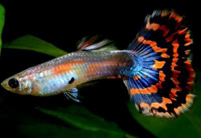 Poecilia reticulata - Multicolor Guppy Männchen