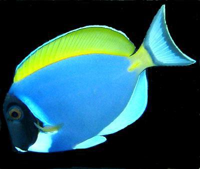 Acanthurus leucosternon - Weißkehl-Doktorfisch
