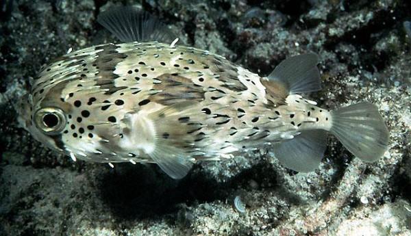 Diodon holacanthus - Igelfisch