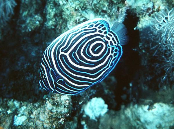 Pomacanthus imperator - Imperatorkaiserfisch juvenile