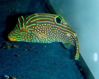 Canthigaster solandri - Augenfleck-Spitzkopfkugelfisch