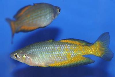 Melanotaenia parkinsoni - Parkinsons Regenbogenfisch