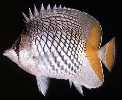 Chaetodon xanthurus - Gitter-Orangenfalterfisch