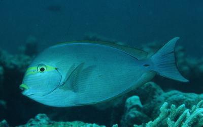 Acanthurus mata - Schwarzdorn-Doktorfisch