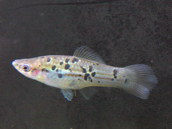Xiphophorus helleri - Rio Papaloapan