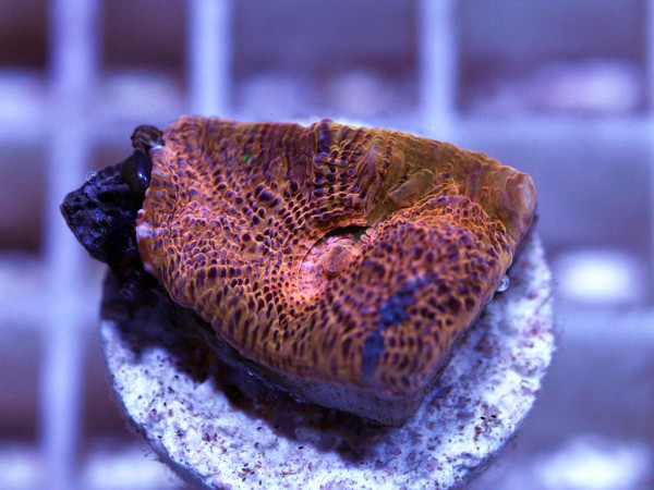 Echinophyllia spec. Frag (34)