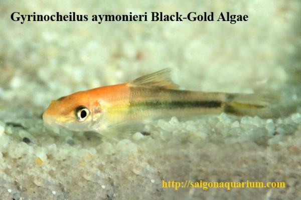 Gyrinocheilus aymonieri - Siamesische Saugschmerle, Bicolor
