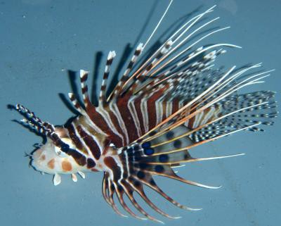 Pterois antennata - Antennenfeuerfisch