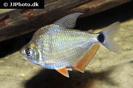 Tetragonopterus argenteus - Rotflossen-Schillersalmler WF 5-6cm