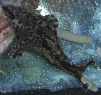 Aplysia juliana - Flügel Seehase