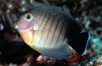 Acanthurus tristis - Ind. Mimikry-Doktorfisch (C.eibli-Mimikry)