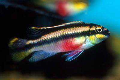 Pelvicachromis pulcher - Königscichlide ENZ