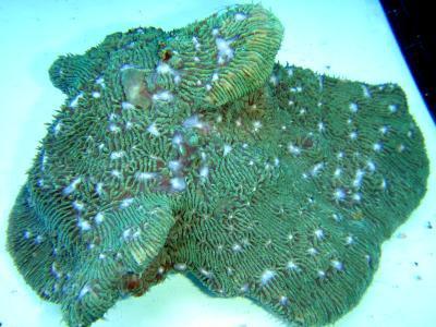 Lithophyllon undulatum - Lithophyllon, Australien! (E 01476/15)