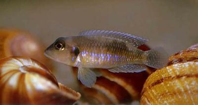 Lamprologus ocellatus - NZ