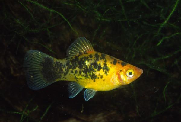 Xiphophorus maculatus - Salt´n´Pepper Platy, gelb