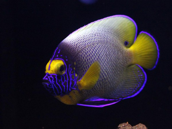 Pomacanthus xanthometopon - Blaukopf-Kaiserfisch juvenile
