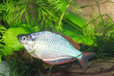 Melanotaenia praecox - Diamant Regenbogenfisch