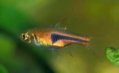 Trigonostigma espei - Rote Keilfleckbärbling