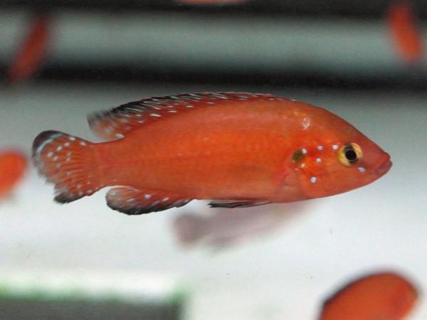 Hemichromis exsul - Roter Juwelenbuntbarsch
