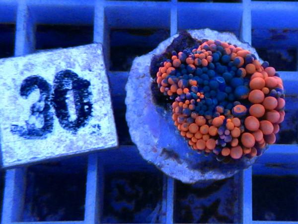 Ricordea floridae - orange (30)