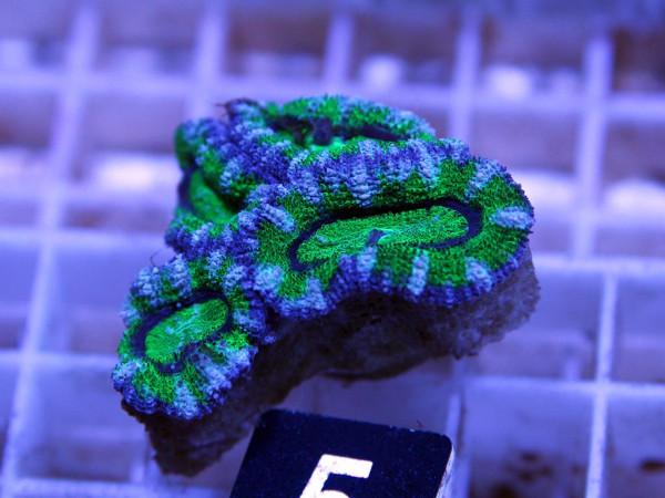Acanthastrea spec. Frag (5)