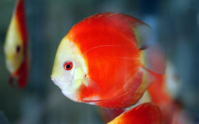 Symphysodon aequifasciatus - Marlboro Red Diskus 10-12cm