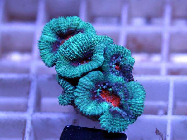 Acanthastrea spec. Frag (4)