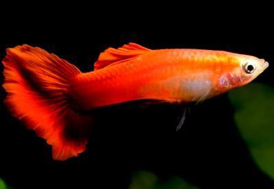 Poecilia reticulata - Rot Blond Guppy Männchen