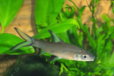 Balantiocheilos melanopterus - Haibarbe, 4-5cm