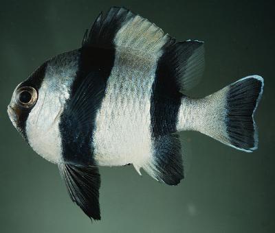 Dascyllus melanurus - Vierbinden Preußenfisch