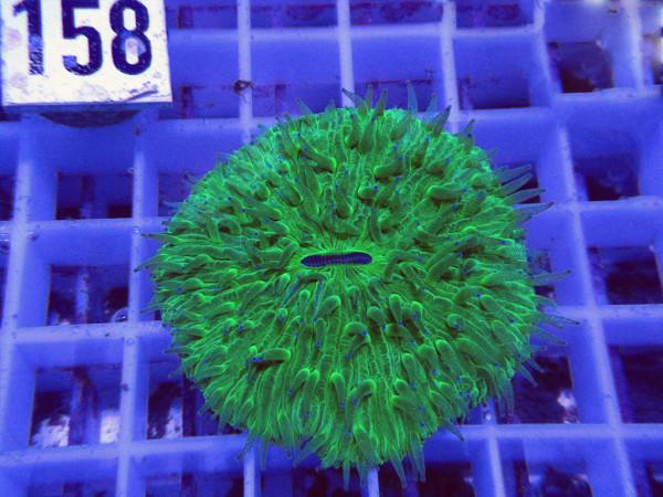 Fungia spec. green (158)