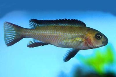 Pseudotropheus elongatus - Chailosi, 6-8cm