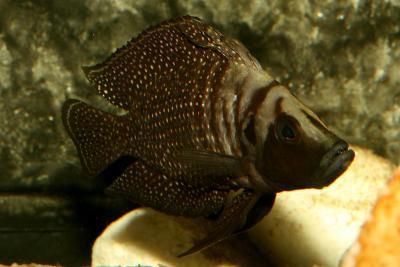 Altolamprologus calvus - 3-5cm black