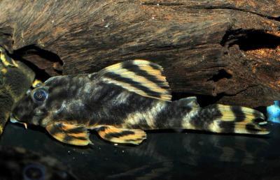 Peckoltia lineola - L202, 10-12cm