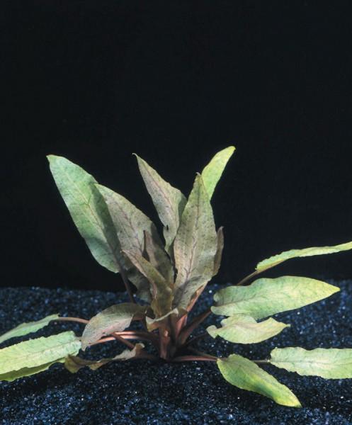 Cryptocoryne undulata - Gewellter Wasserkelch