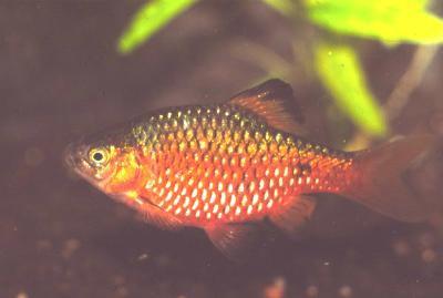 Pethia conchonius - Prachtbarbe, gold