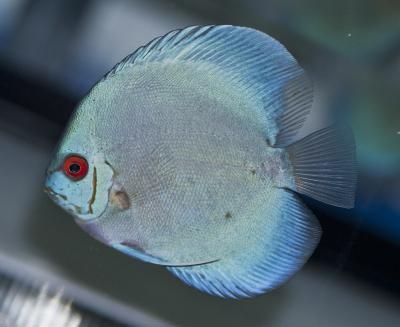 Symphysodon aequifasciatus - Blue Diamond