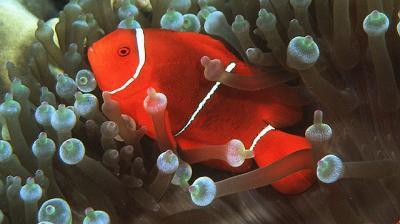 Premnas biaculeatus - Samtanemonenfisch, weiß